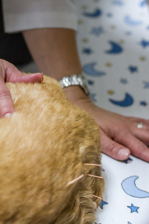 Veterinary acupuncture Walnut Creek